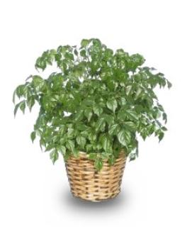 China Doll Aralia Plant