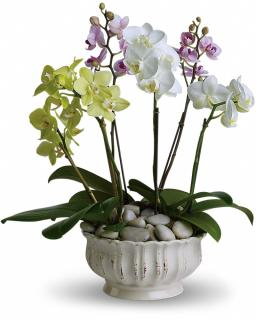 Regal Orchids